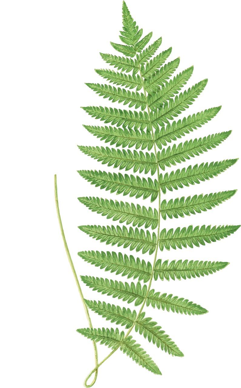 fern, leaves, frond